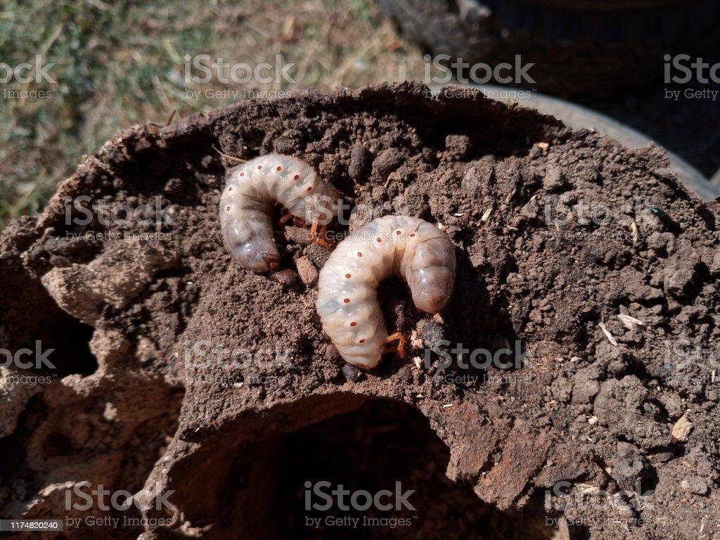 Rhinoceros Beetle Rhino Beetle Larvae On Rotten Wood Stump Stock Photo Download Image Now Istock