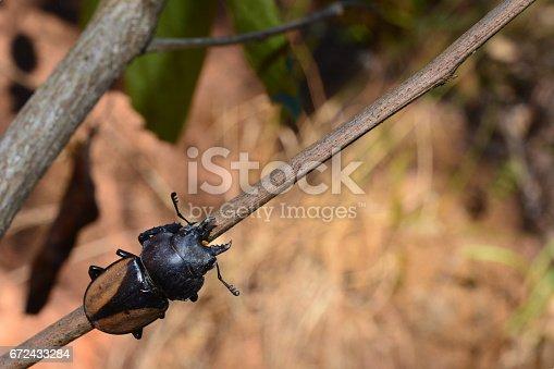 istock Rhinoceros beetle, Rhino beetle 672433284