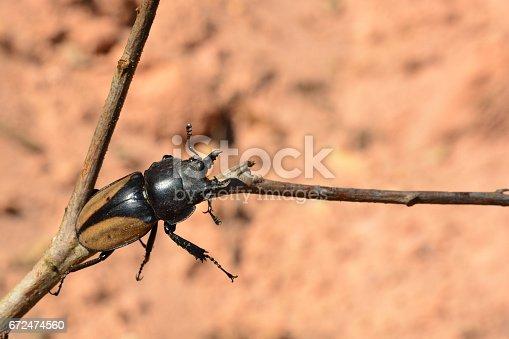 istock Rhinoceros beetle, Rhino beetle 672474560