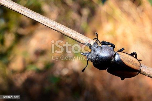 istock Rhinoceros beetle, Rhino beetle 686921432