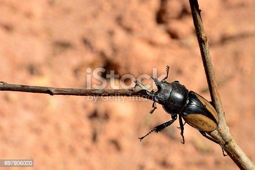 istock Rhinoceros beetle, Rhino beetle 697906020