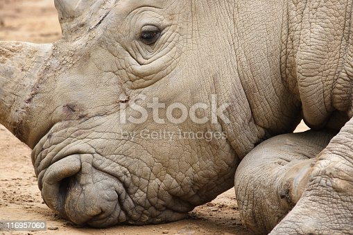 Rhinoceros head resting on ground - large gray tired and bored.