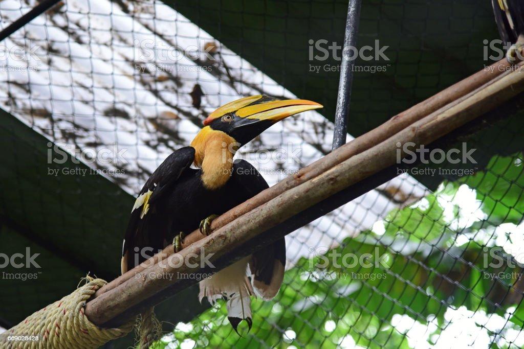 Rhinoceros Hornbill bird stock photo