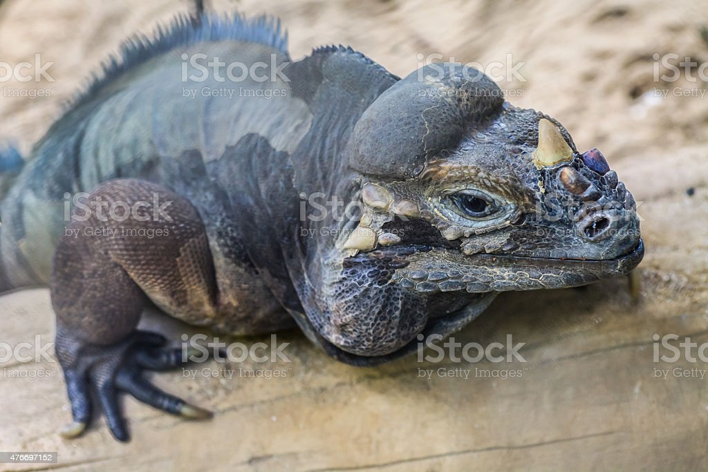 Rhinoceros iguana - Cyclura cornuta stock photo