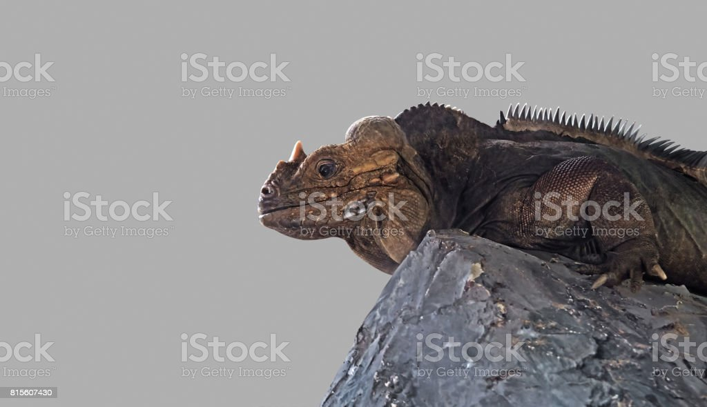 Rhinoceros Iguana Lie Down on The Rock stock photo