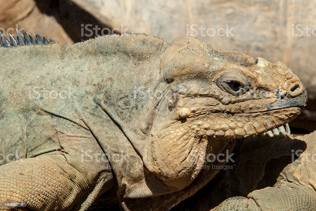 Rhinoceros Iguana stock photo