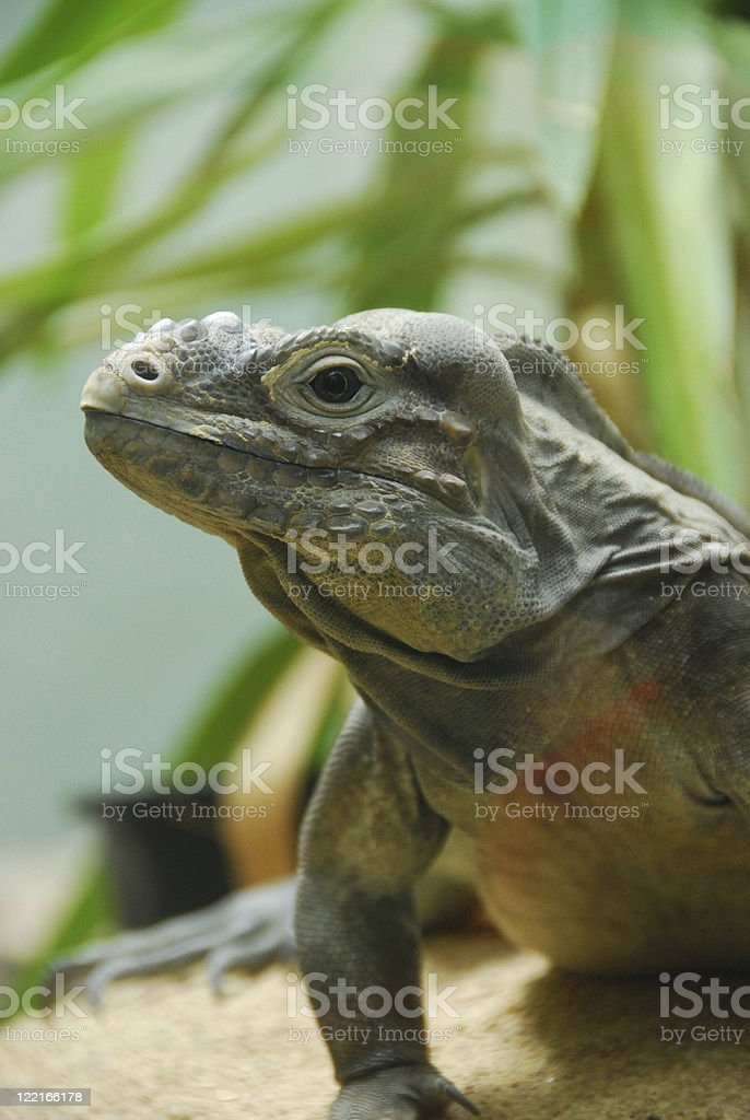 Rhinoceros Iguana Reptile Lizard stock photo