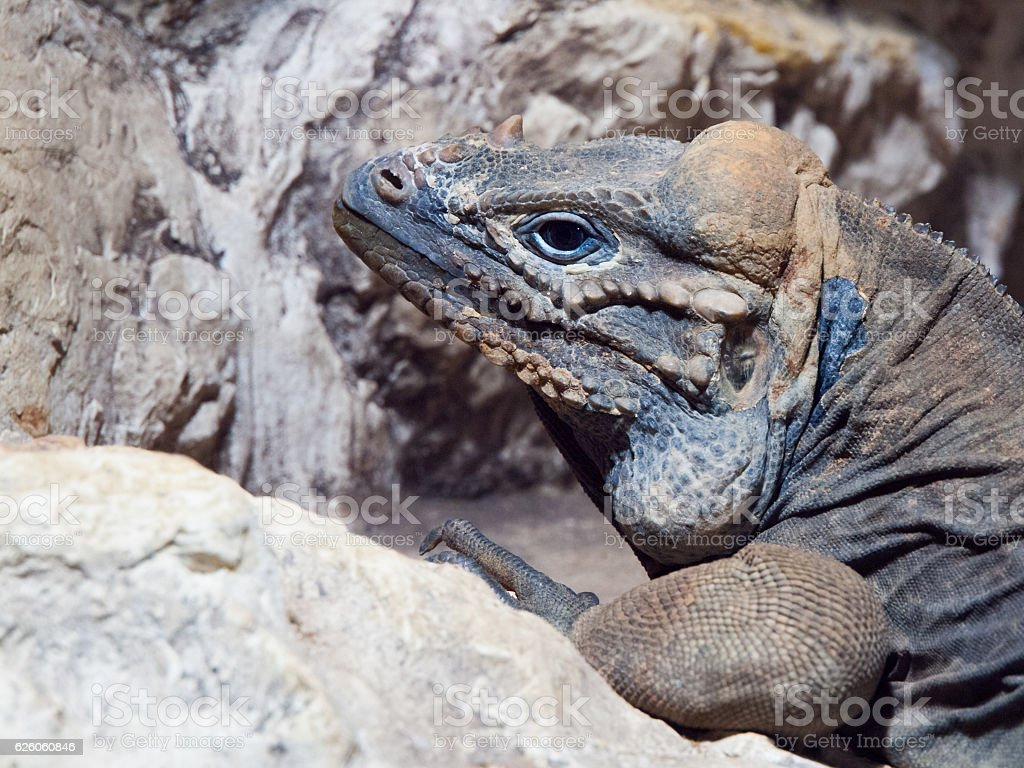 Rhinoceros iguana - threatened species of Caribbean lizard stock photo