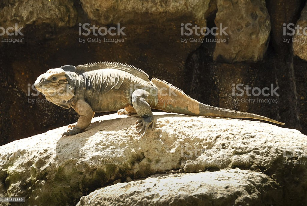 Rhinoceros Iguanas in Australia Zoo stock photo