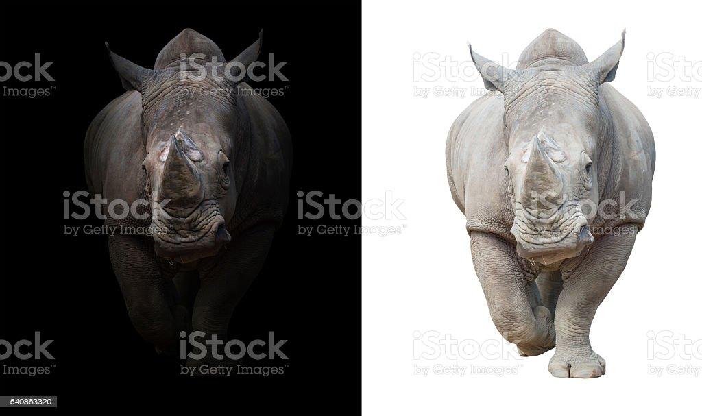 rhinoceros in dark  and white background stock photo