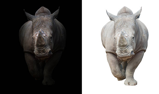 rhinoceros in dark  and white background white rhinoceros, square-lipped rhinoceros in dark and white background rhinoceros stock pictures, royalty-free photos & images