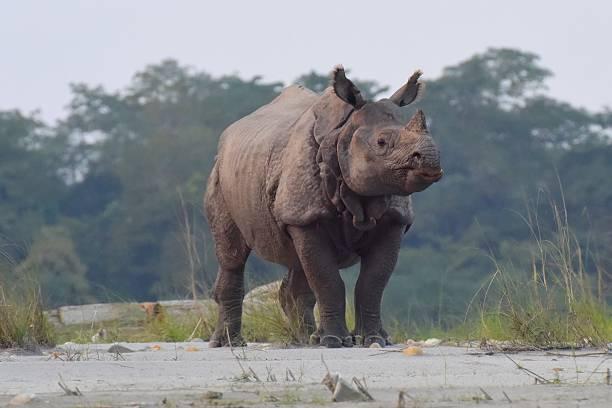 Rhinoceros in Nepal's jungle stock photo