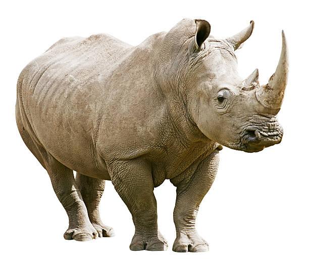 Rhinocéros isolé avec un Tracé de détourage sur fond blanc - Photo