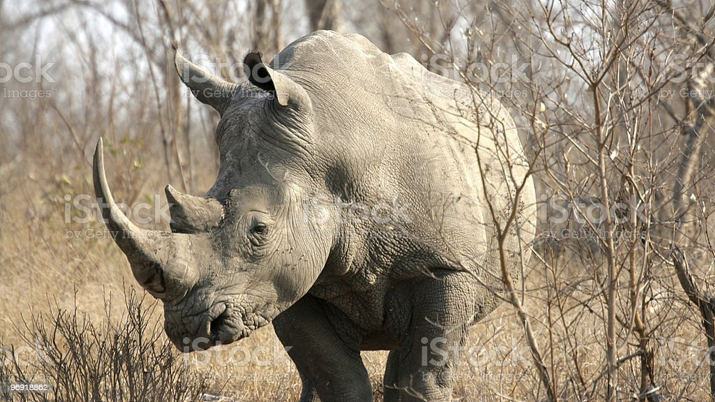 Rhinoceros, Kruger National Park, South Africa royalty-free stock photo