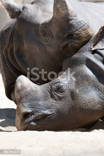 Rhinoceros snuggle on a river delta in South Africa