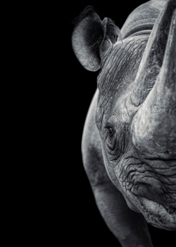 A frontal view of a rhinoceros on black background