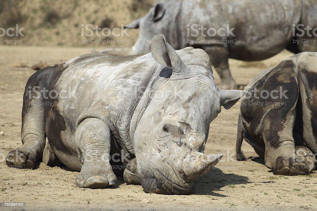 Rhinoceros royalty-free stock photo