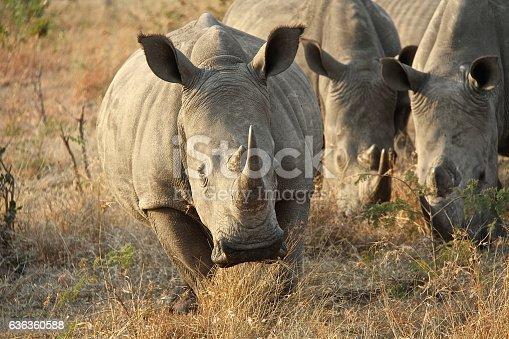 Rhinoceros, multiple, in the wild on South African Safari