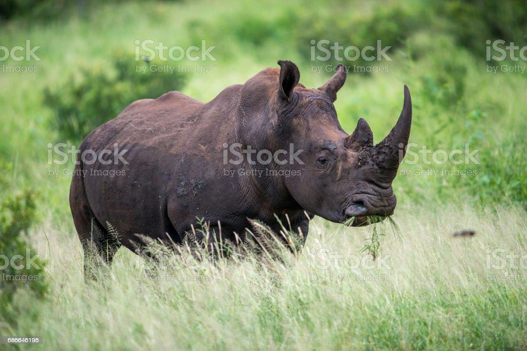 Rhinoceros stock photo