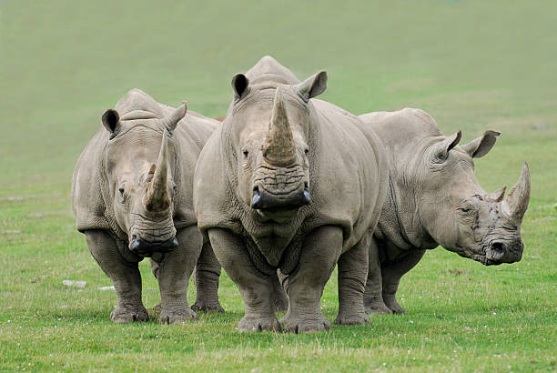 Rhinocéros - Photo