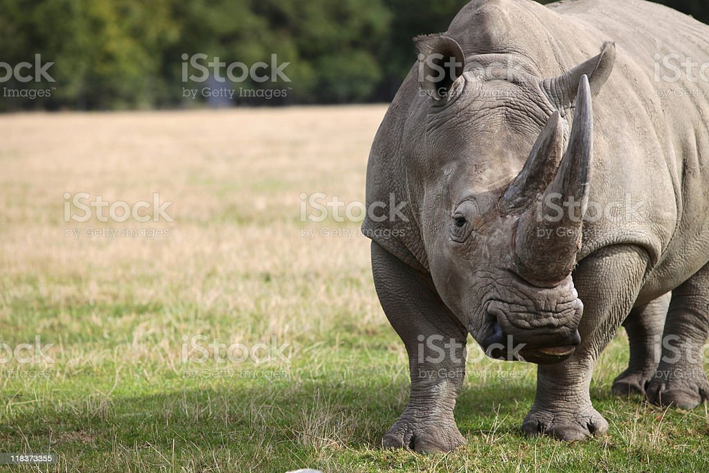 Rhinoceros stood on green and yellow grassed area royalty-free stock photo
