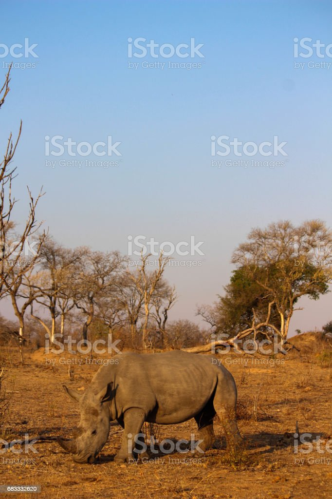 Rhinoceros struggling for food in arid climate photo libre de droits