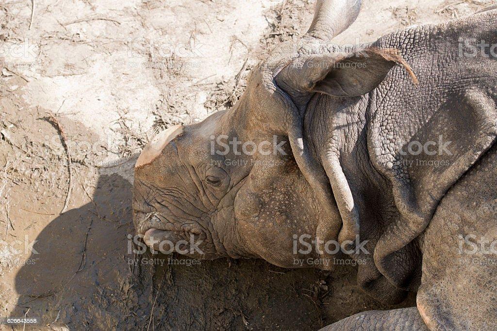 Rhinoceros unicornis, rhino Indian rhinoceros, de-horning, removing the horn, rhino Animal Stock Photo
