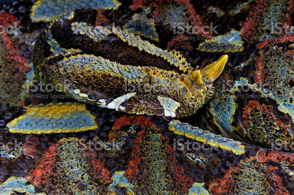 Rhinoceros viper / Bitis nasicornis royalty-free stock photo