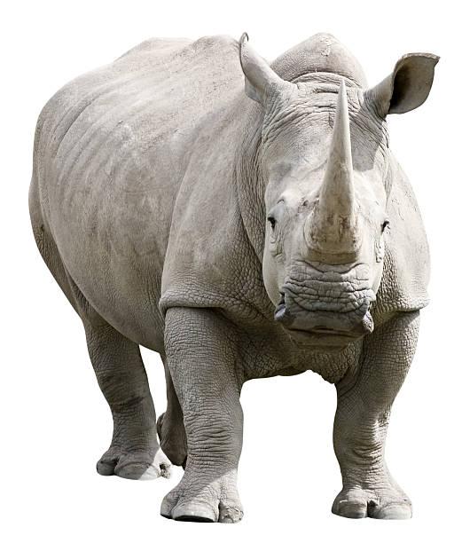 Rhinocéros avec un Tracé de détourage sur fond blanc - Photo
