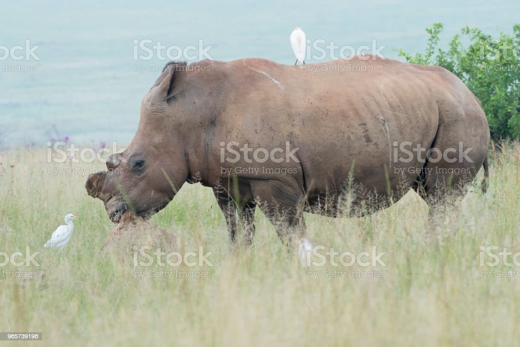 Rhinoceros with white egrets - Royalty-free Africa Stock Photo