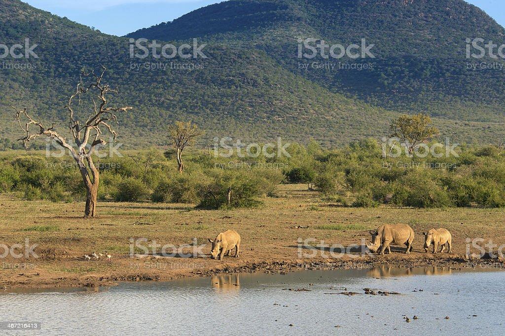 Rhinoceroses at drinking hole stock photo