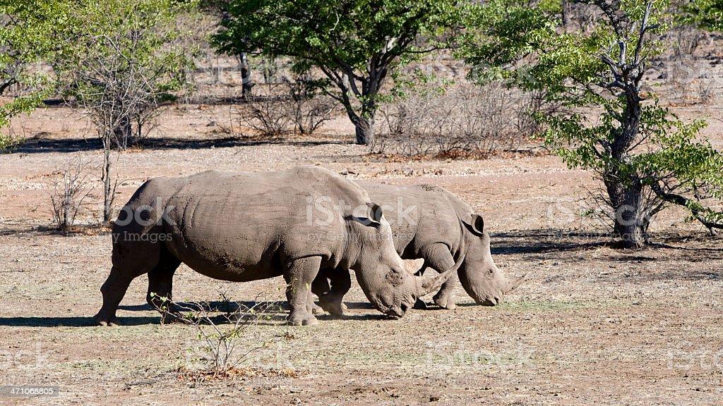 Rhinoceroses Wilderness Panoramic royalty-free stock photo