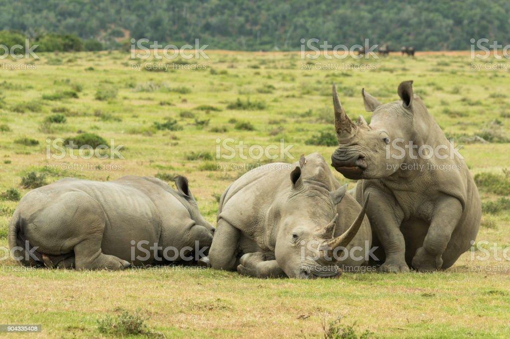 Rhinos Going To Nap stock photo