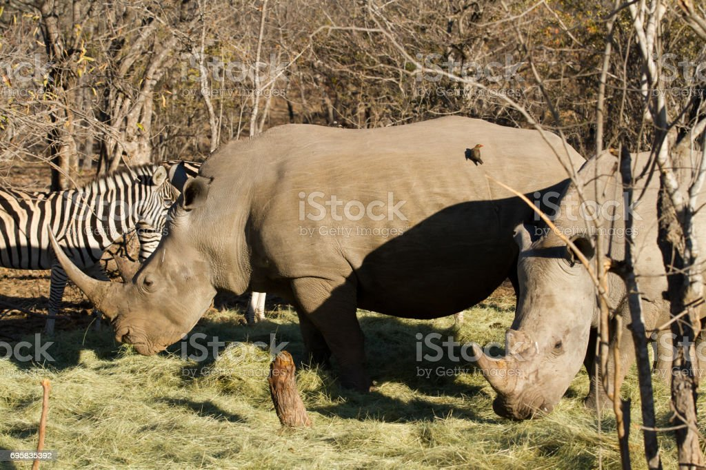 rhinos in the kruger national park stock photo