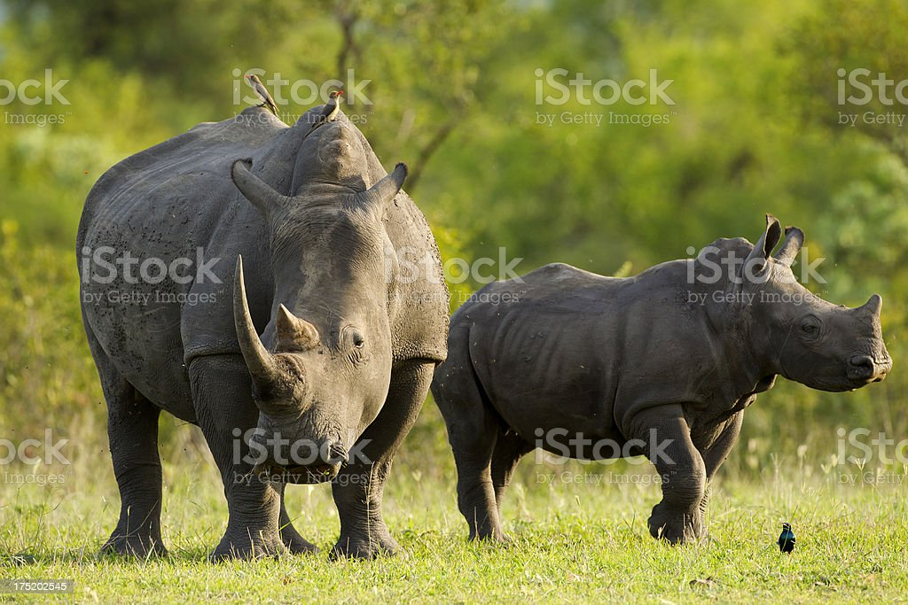 Rhinos Mother Rhino with calf Africa Stock Photo