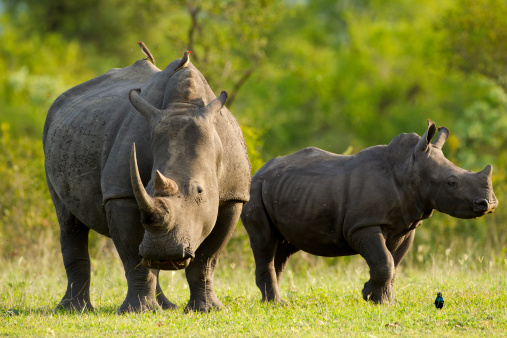 Rhinos Stock Photo - Download Image Now