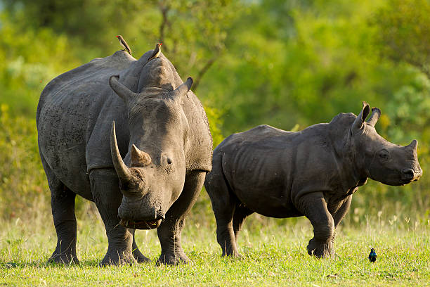 Rhinos Mother Rhino with calf transvaal province stock pictures, royalty-free photos & images