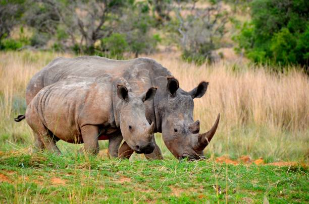 Rhinos Mother and Calf rhinoceros stock pictures, royalty-free photos & images