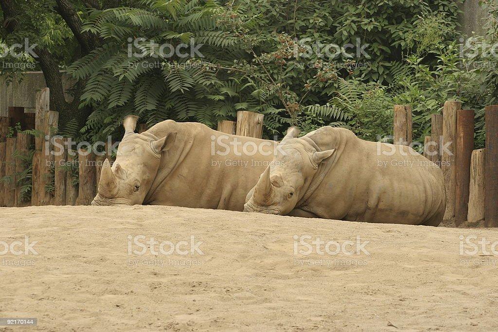 Rhinos resting stock photo
