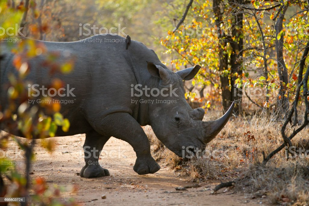 rhinos walking in the plains of the kruger national park stock photo