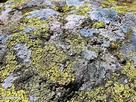 Rhizocarpon geographicum (map lichen)  growing on rocks with low air pollution. The image was captured in the swiss alps at an altitude of 1800m.