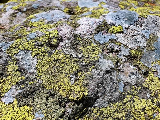 Rhizocarpon geographicum - map lichen stock photo