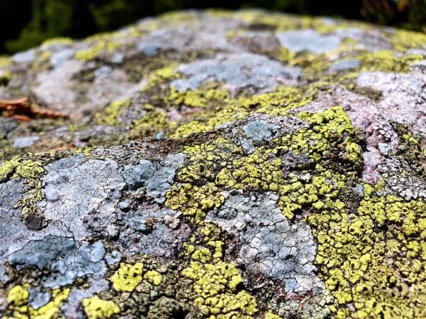 Rhizocarpon geographicum (map lichen) stock photo