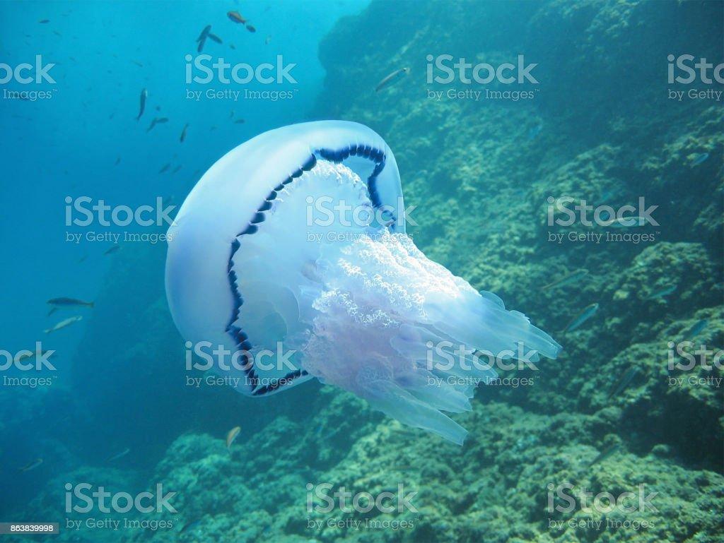 Rhizostoma pulmo stock photo
