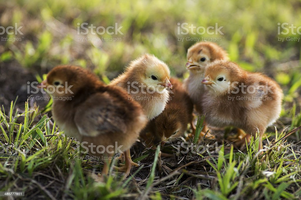 Rhode island red baby chicks royalty-free stock photo