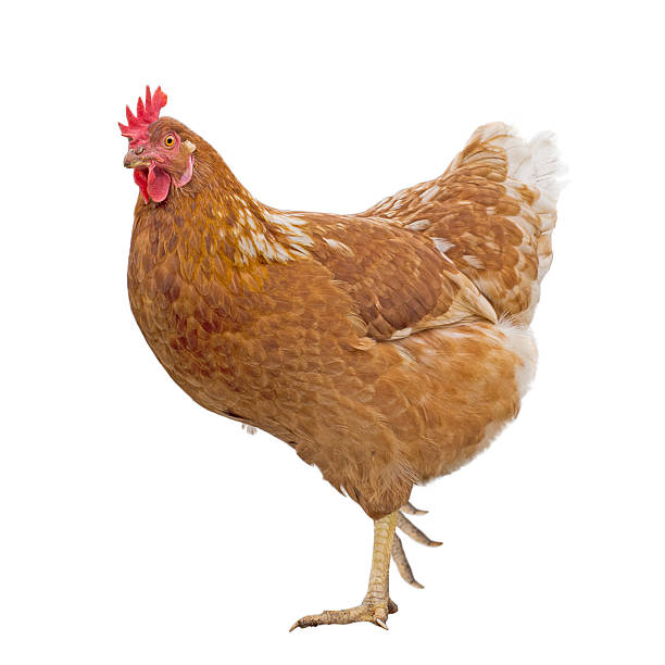 Rhode Island Red Chickens Pics