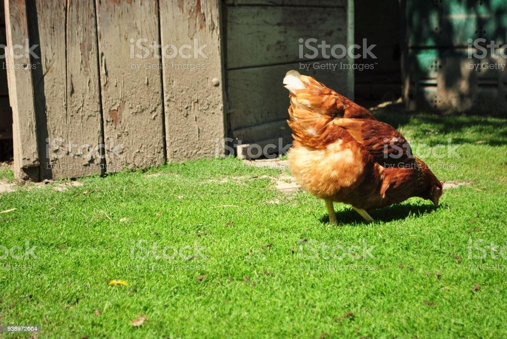 Rhode Island Red Hen chicken back view stock photo