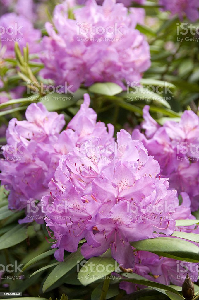 Rhodedendron royalty-free stock photo