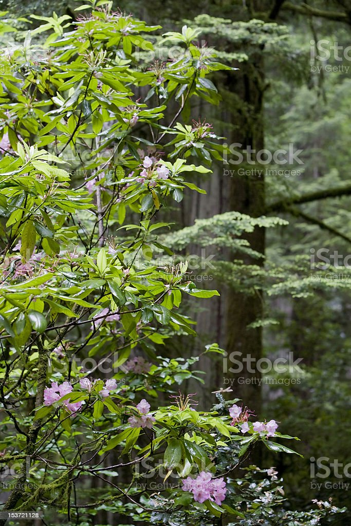 Rhodedendrons and Redwoods, Jedediah Smith Redwood State Park stock photo