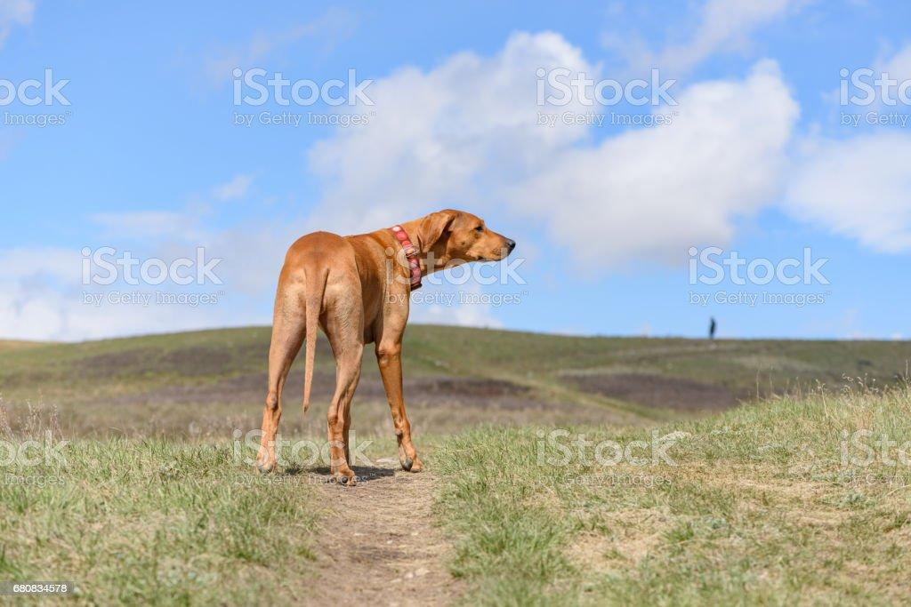 Rhodegian Ridgeback standing tall on a hillside stock photo